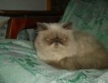 кот персидский колорпойнт с родословней. Вязка