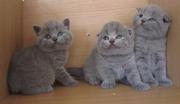Клубные британские и вислоухие котята +373 22 714080