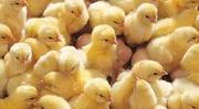 Яйца инкубационные Венгрия Польша Чехия  Украина