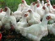 Инкубационный яйца птицы Бройлеров,  Несушек,  Индюков
