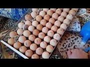Яйца инкубационные Польша Венгрия КОББ 500 ( маркированные )